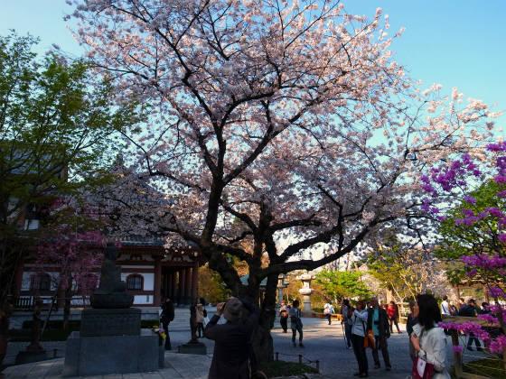鎌倉のお花見スポット・長谷寺